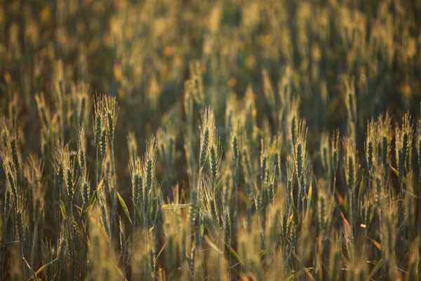 Sky Works Pics - green wheat
